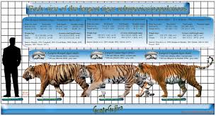 siberian tiger vs bengal tiger. Perfect Siberian To A Royal Bengal Tiger And It Is More Bulkier Stronger With  Thicker Coat Of Fur Heavier Muscular Build Larger Skeletal Structure Inside Siberian Vs N