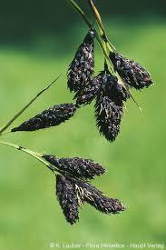 Carex atrata subsp. aterrima (Hoppe)