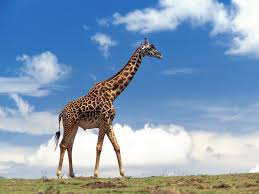 Image result for giraffe