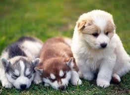 Pomsky Vs Pomeranian Vs Siberian Husky The Ultimate