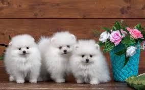 dogs pomeranians fluffy cute dog spitz pmeranian blue white pink