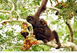 Pdf First Sighting Of Bornean Orangutan Twins In The Wild