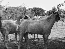 Commercial Goat Farming Business Plan Learn Natural Farming