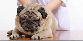 how to get rid of pug pimples solutions