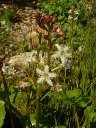 Menyanthes trifoliata - Wikipedia