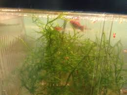 Molly Fry Growth Chart Platy Fry Growing Unusually Fast My Aquarium Club