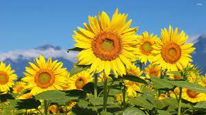 Best Sunflower wallpaper ID:226338 for ...
