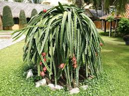 How To Grow A Dragon Fruit Tree 101  YouTubeHow To Take Care Of Dragon Fruit Tree