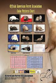Ferret Color Chart Color And Pattern Chart Ferret Colors Pet Ferret Ferret