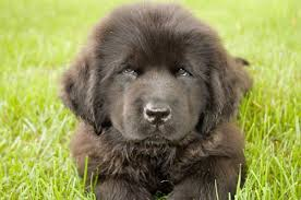 What Is The Size Of A Newfoundland Dog Monthly