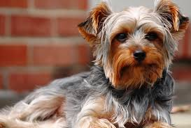 a yorkshire terrier a breed of dog otherwise known as a teacup yorkie