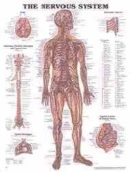 Human Body Systems Anatomical Charts Anatomy Chart Poster