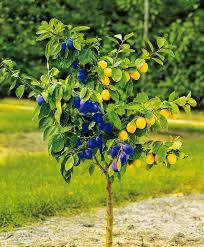 Gardening Tips How To Prune A Plum Tree In Summer  Garden  Life Plum Fruit Tree Varieties