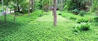 ground cover central florida best ground cover plants shade for central shaded areas