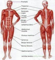 The Latest On Human Body Muscles Muscle Diagram Muscular