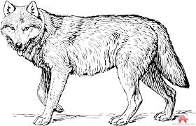 Wolf Head Coloring Pages For Adults Printable Realistic Anime Wolves