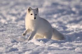 what do arctic fo eat arcticlook