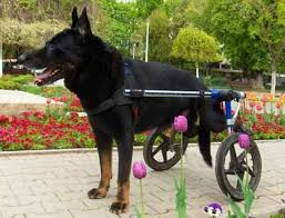 Image result for pets in wheel chairs