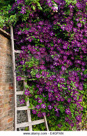 Espalier Bougainvillea Sp On Wall Underplanted With Liriope Wall Climbing Plants Australia