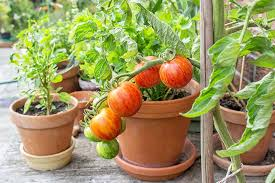 the best 11 vegetables to grow in pots