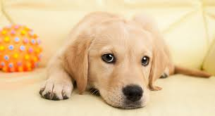 cute puppy. Perfect Cute Cute Puppy Names Throughout Cute Puppy The Labrador Site