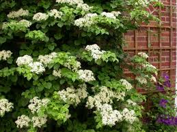 11 Best Indoor Vines And Climbers You Can Grow Easily In Your Home Wall Climbing Plants That Like Shade