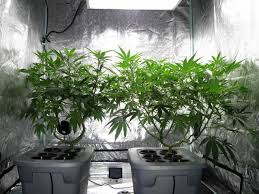2 plants under a metal halide light in a grow tent vegetative stage