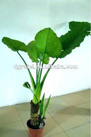 big leaf hou plants indoor large plant green ornamental pictures p winning with leaves round foliage house