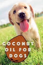 Coconut Oil For Dogs - Separating The Myths From The Facts