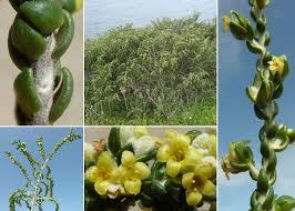Thymelaea hirsuta (L.) Endl. - Portale sulla flora del Parco ...