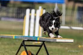 dogs agility