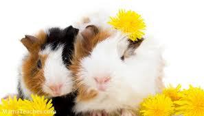 guinea pig bedding options mama teaches