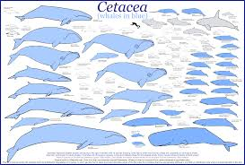 Whale Size Chart Image Detail For Whale Size Comparison Click For Larger