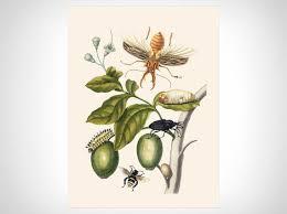 Metamorphosis Insectorum Surinamensium Iii Art Prints