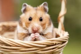 Comment s'occuper de son hamster ? | Magazine zooplus