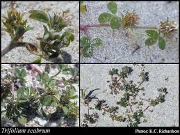Trifolium scabrum L.: FloraBase: Flora of Western Australia