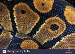 Python Pattern Delectable Scales Royal Python Or Ball Python Python Regius West Africa Stock