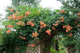 Image result for trumpet vine plant
