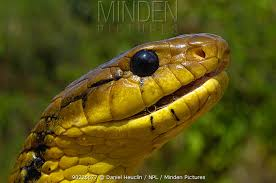 cobra head profile. Delighful Head Yellowbellied Puffing Snake Pseustes Sulphureus Head In Profile French  Guyana August Throughout Cobra Head Profile S