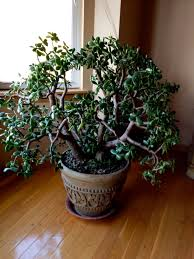 feng shui plant office. jade plants that grow strong like a tree have coinlike leaves given them the reputation as symbolic money plant feng shui office