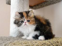 calico kittens for sale. Perfect Sale Calico Persian On Kittens For Sale