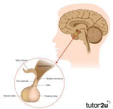 Biopsychology The Endocrine System Hormones Psychology