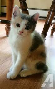 calico kittens for sale. Unique Sale Calico Manx Kitten  12 Weeks Old In Kittens For Sale S