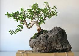 bonsai tree for office. Amazing Modern Office Bonsai Tree For Home Cool Full Size My Good E