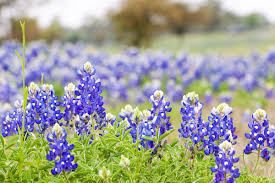 bluebonnets are starting to appear as spring arrives