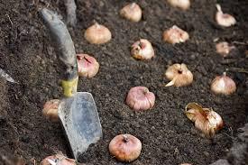Planting Depths For Flowering Bulbs