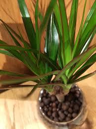 outlook on tree of ドラセナコンシンネ houseplant マジナータ truth hydroculture modern round glass leaf mini gift