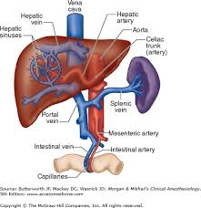 Liver Anatomy Chapter 32 Hepatic Physiology Anesthesia Morgan