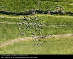 Grass field aerial Village Aerial Drone View Of Sheep Herd Feeding On Grass Royalty Free Stock Photo From Photocase Photocase Aerial Drone View Of Sheep Herd Feeding On Grass Royalty Free