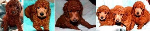 follow poodle s board famous poodle owners on